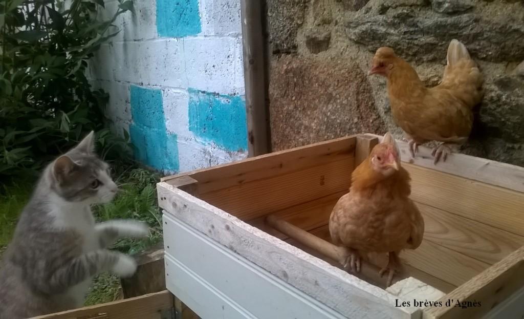 poules_chat_20160619_06_39_31_Pro